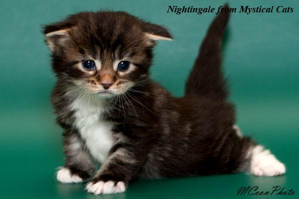 котенок мейн кун в 3 недели фото